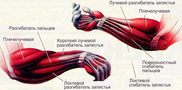 Мышцы-предплечья